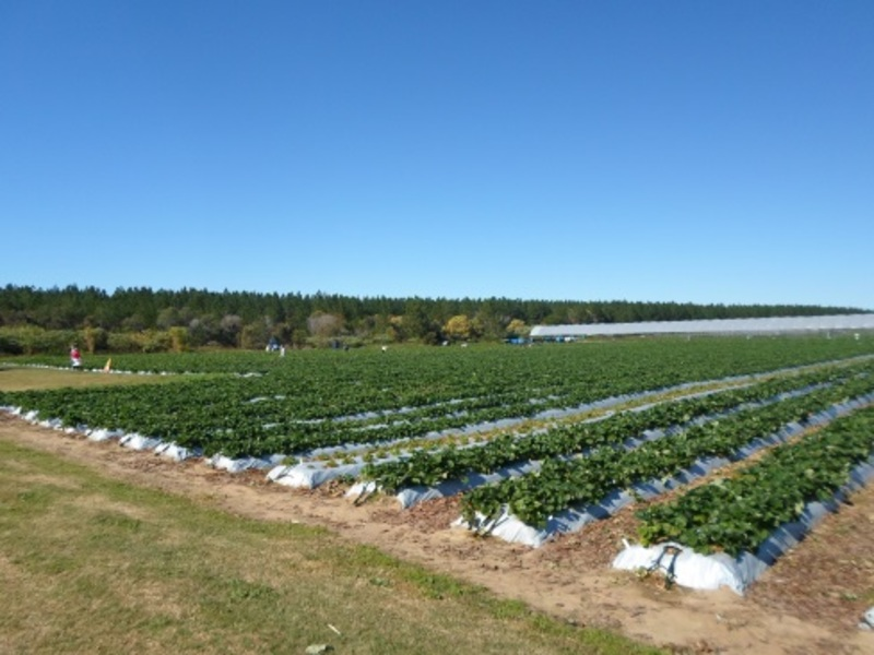 rolin farms, rolin farms strawberry picking, sunshine coast strawberry picking